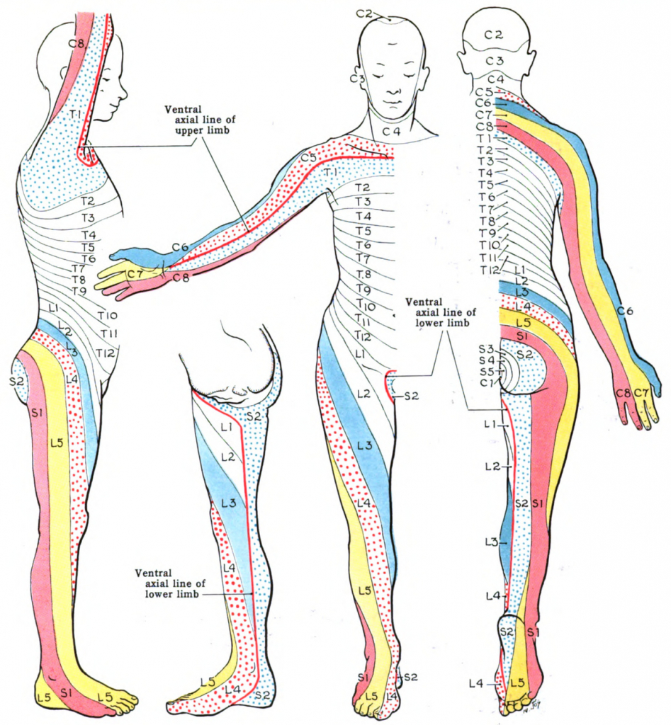 Dermatome (Anatomy) - Wikipedia regarding Printable Dermatome Map